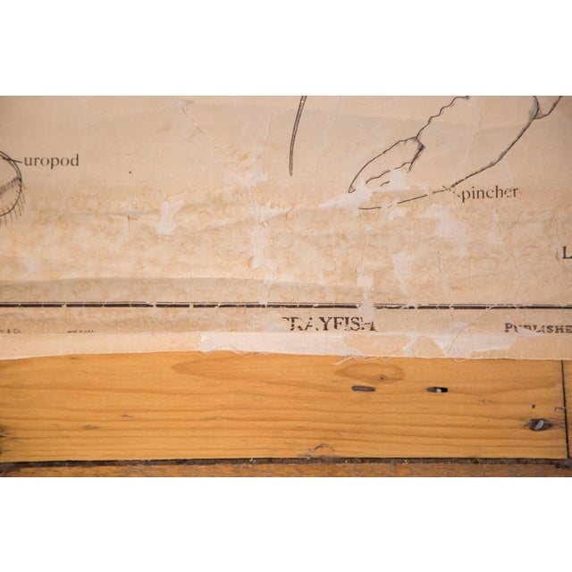 Early 20th Century Pull Down Chart of Lobster - Image 6 of 8