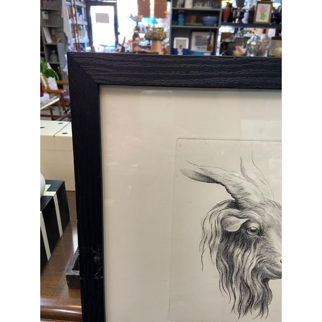 Framed pen and ink illustration. This sketch compares the physiognomies of man and mountain goat reinforcing Charles Le...