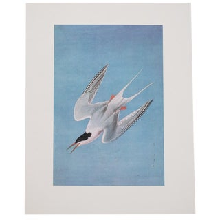 1966 Large Lithograph of Roseate Tern by Audubon For Sale