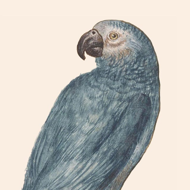 XL 1590s Gray Red-Tailed Parrot Print by Anselmus De Boodt For Sale - Image 4 of 8