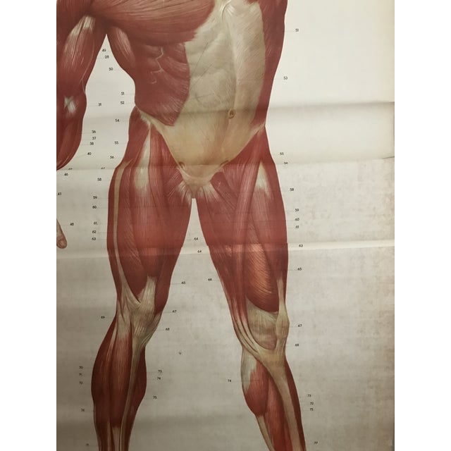 Abstract Human Muscle Chart For Sale - Image 3 of 5