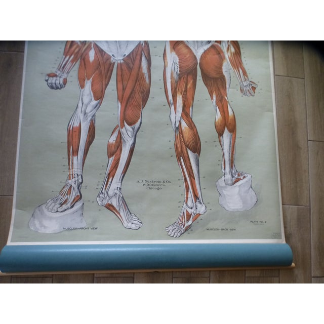 1960s Vintage American Frohse Muscular System Anatomy Chart For Sale - Image 5 of 7