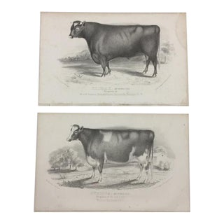Antique Bull and Cow Lithographs - a Pair For Sale