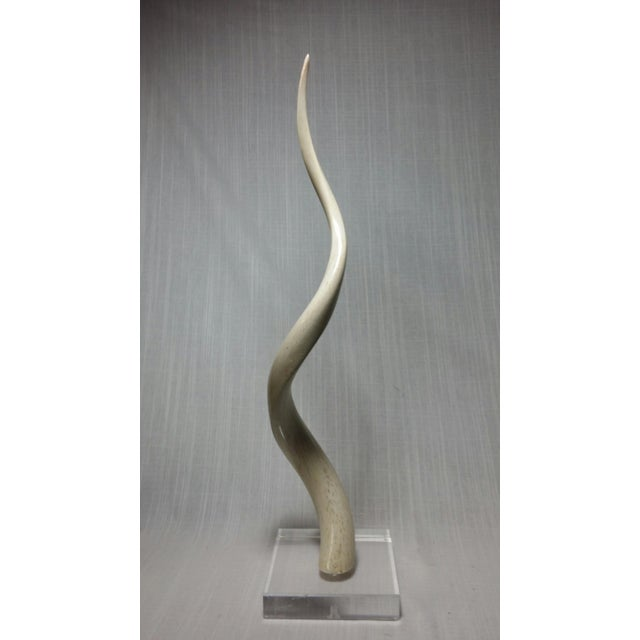 This is the inner bone of a Kudu horn mounted on a 1 1/2 inch Lucite base. The horn has a slight superficial crack on the...
