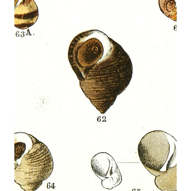 Vintage color stone lithograph of seashells by Professor Dautzenberg from 1913. Displayed on a white mat with a gold...