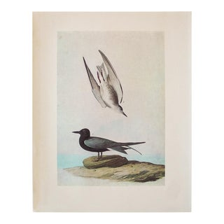 1966 Vintage Cottage Print of Black Tern by Audubon For Sale