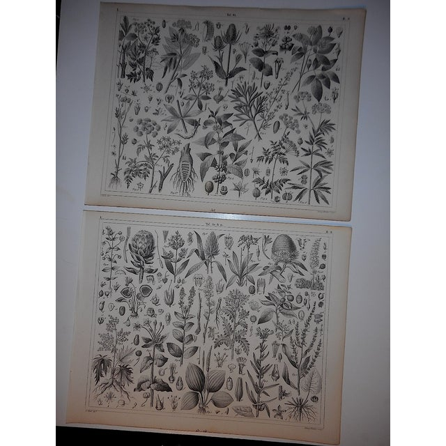Antique Botanical Engravings - a Pair - Image 2 of 4
