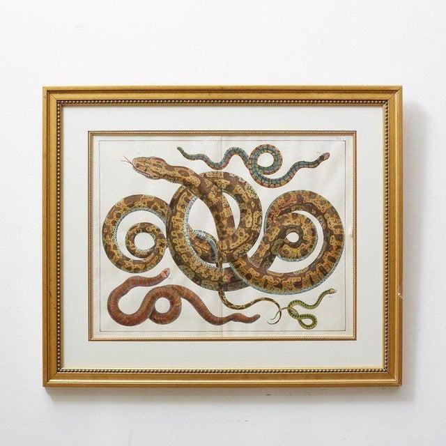 Illustration Set of Four Albertus Seba Hand-Colored Snake Prints For Sale - Image 3 of 13