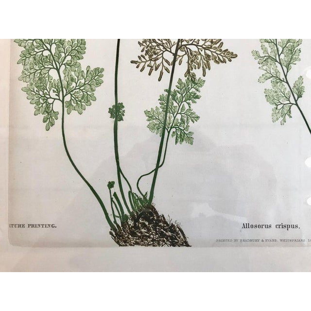 Mid 19th Century 19th Century Bradbury & Evans Nature Printed Fern Print For Sale - Image 5 of 6
