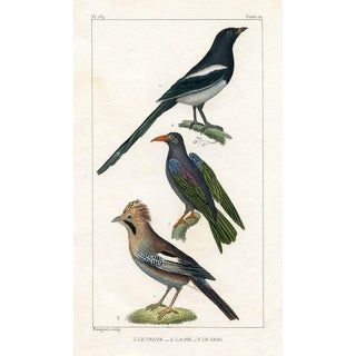 Magpie and Jay, 1831 French Bird Engraving For Sale