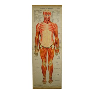 Antique Foldable Anatomical Wall Chart Depicting Human Musculature For Sale
