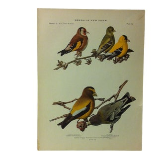 """1925 """"European Goldfinch"""" the State Museum Birds of New York Print For Sale"""