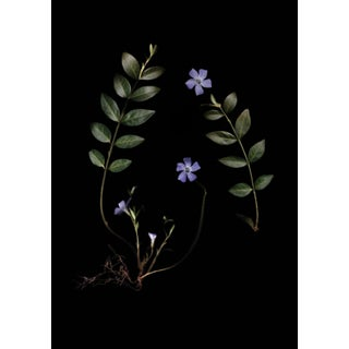 Vinca Minor (Periwinkle) Botanic Photograph by Francesca Wilkinson For Sale