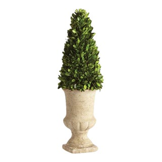 Boxwood Cone Topiary in Pot For Sale