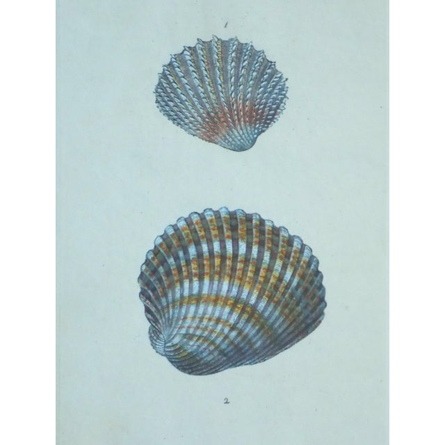 Cardita Shells, 1803 - Image 2 of 5