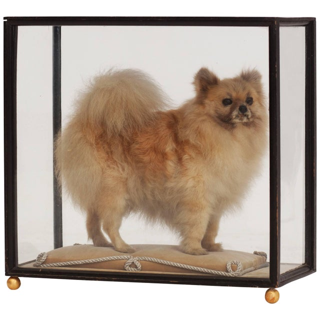 Animal Skin Pomeranian Taxidermy in Glazed Display Cabinet For Sale - Image 7 of 7