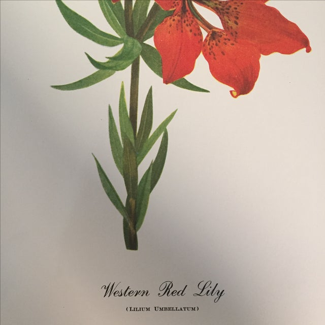 Western Red Lily Botanical Print - Image 3 of 4