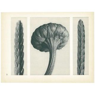 1928 Karl Blossfeldt Original Period Photogravure N28 of Cassiope Tetragona For Sale