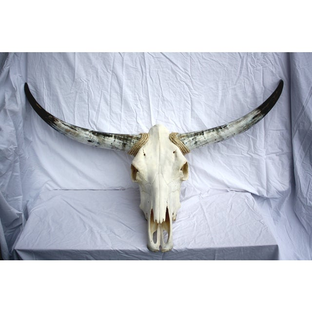 Texas Longhorn Skull For Sale - Image 5 of 5