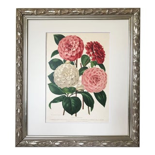 Antique Floral Botanical of Camellia Flowers 19th C. Chromolithograph