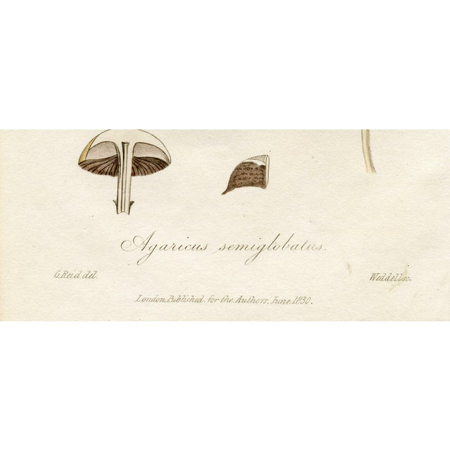 1830 Antique Mushroom Engraving - Image 2 of 3