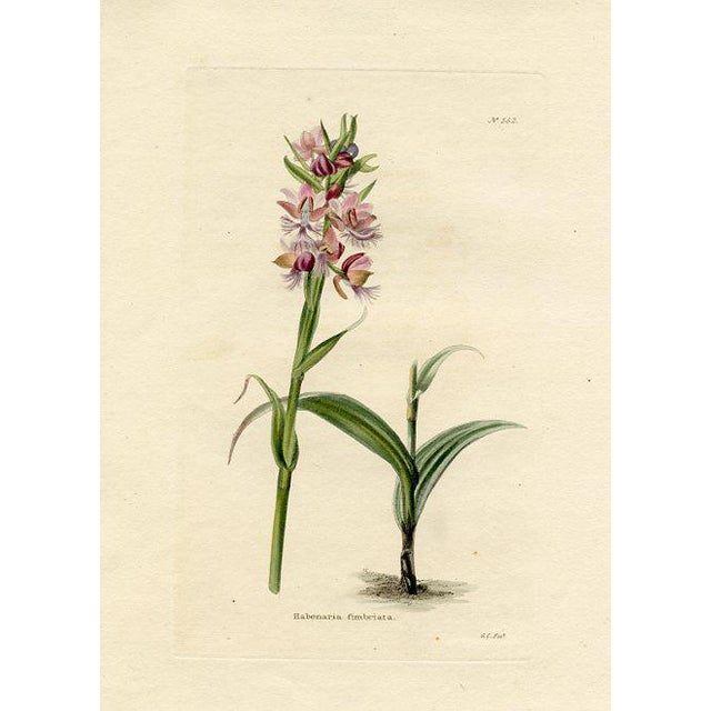 Purple-Fringed Orchid, 1820 Botanical Print For Sale