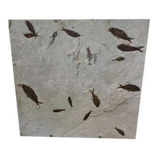 Mass Mortality Fish Fossil Slab