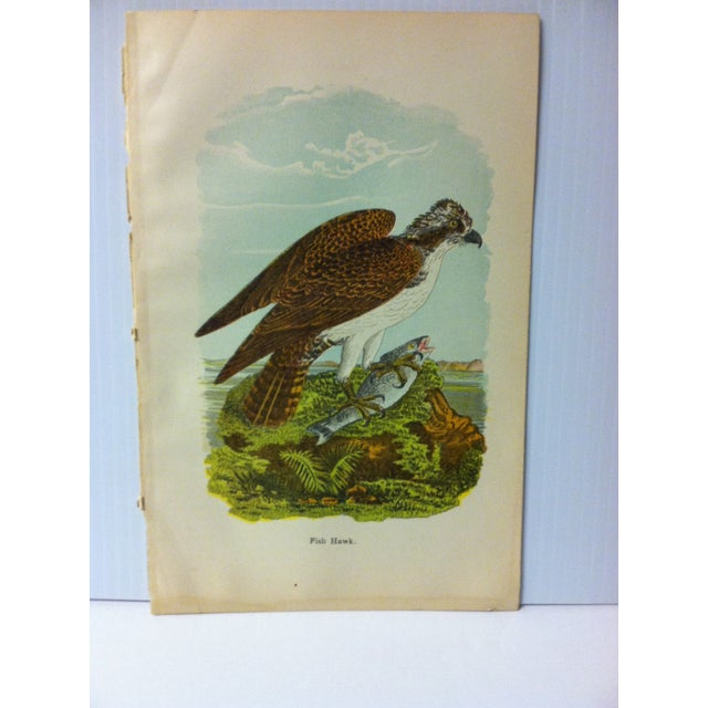 """This is a nice vintage color print on paper of birds of water that is titled """"Fish Hawk"""". The print dates from around 1930..."""