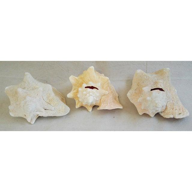 Natural Conch Seashells - Set of 3 - Image 6 of 7
