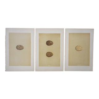 Antique Egg Lithographs-Set of 3-Grouse Eggs