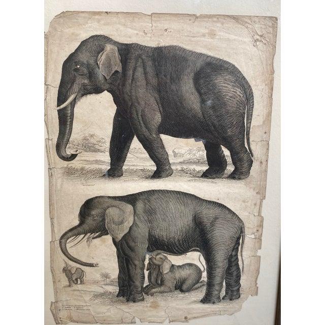 Illustration 1890s Scientific Study of Elephants Print, Framed For Sale - Image 3 of 7