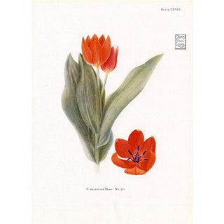 Rock Garden Tulip, 1930 For Sale