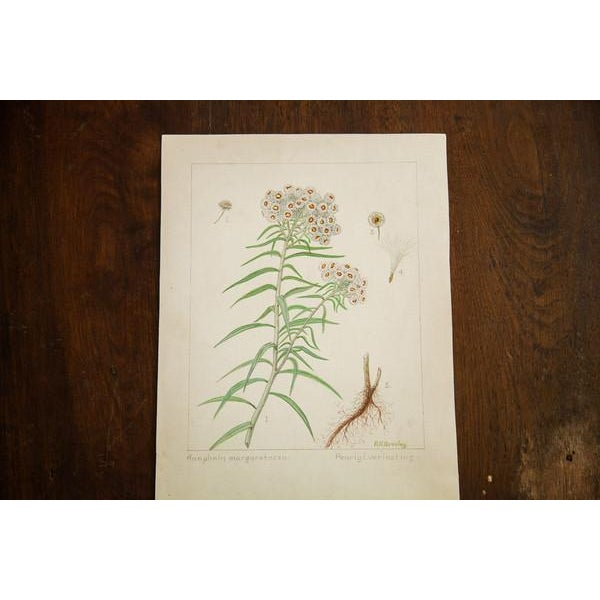 """Cottage """"Pearly Everlasting"""" Botanical Watercolor Painting by Rh Greeley For Sale - Image 3 of 5"""