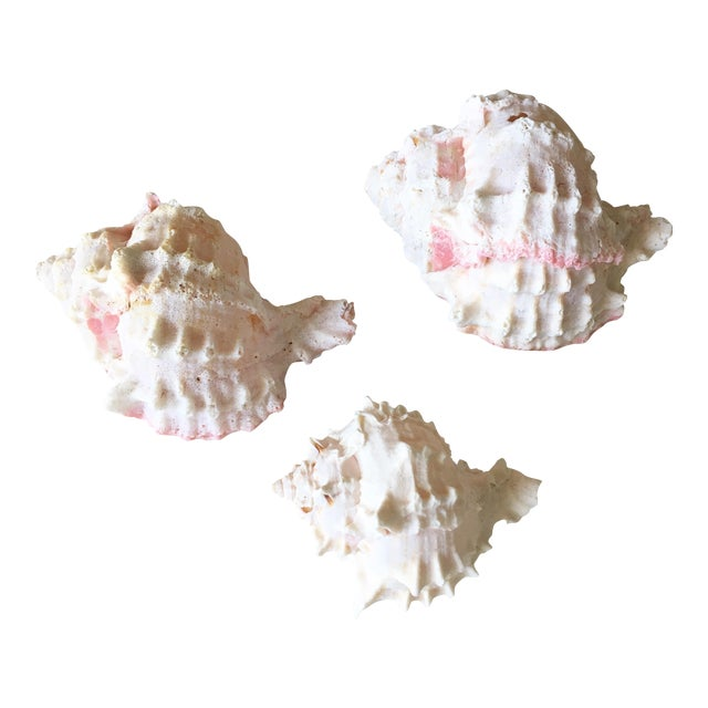 Natural Pink Queen Conch Set/3 Nautical Decor - Image 1 of 9