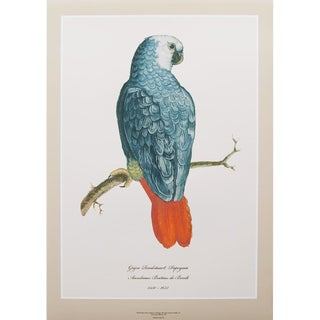 1590s Large Print of Gray Red-Tailed Parrot by Anselmus De Boodt For Sale