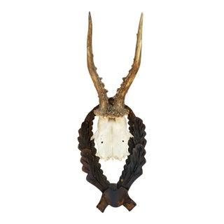 1920s German Deer Antler Taxidermy For Sale