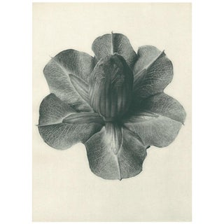 1928 Original N73 Cups-And-Saucers Photogravure by Karl Blossfeldt For Sale