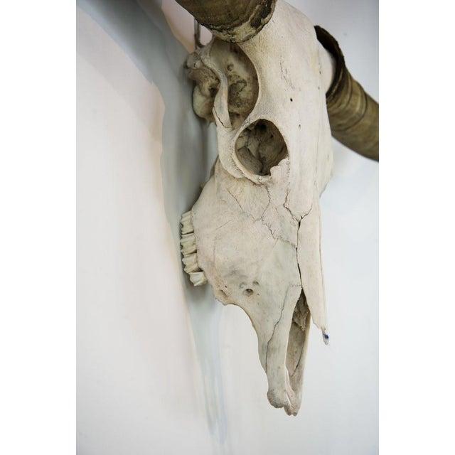 Texas Longhorn Skull Mount For Sale - Image 5 of 11