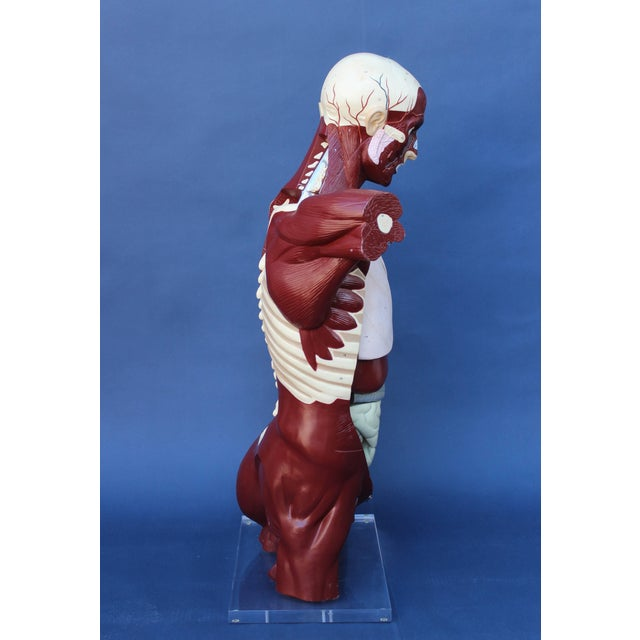 1950s Mid-Century Anatomical Model For Sale - Image 5 of 10