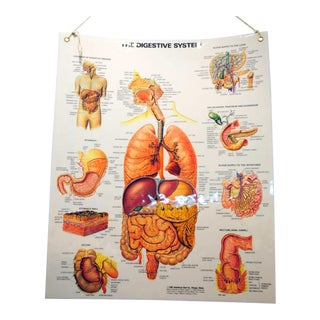 Vintage Laminated School Anatomy Chart of Digestive System