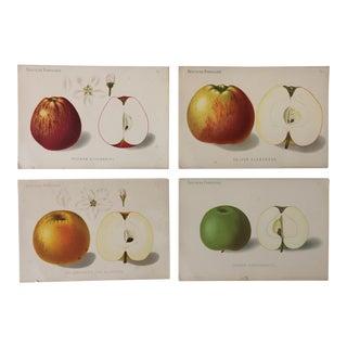 Antique Botanical Fruit Prints, Set of Four For Sale