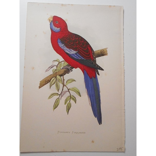 Antique Parakeet Lithograph - Image 2 of 4