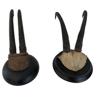 Pair of Antique Mounted Horns For Sale