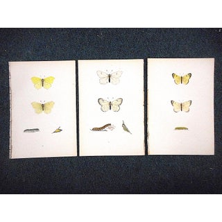 Antique Butterfly Lithographs-Hand Colored-Mid 19th Century Preview