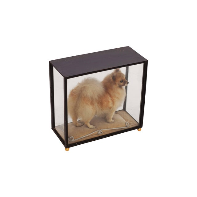 Pomeranian Taxidermy in Glazed Display Cabinet For Sale - Image 4 of 7