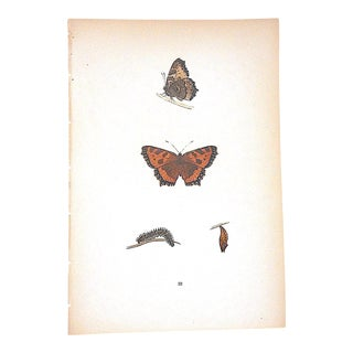 Antique Butterfly Lithograph-Hand Colored-Mid 19th Century