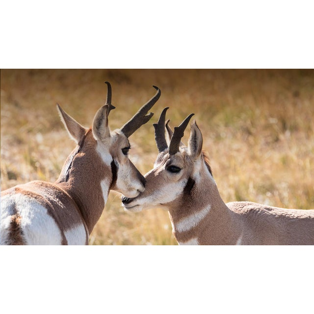 Animal Skin Pronghorn Antelope Horns Taxidermy Wall Décor For Sale - Image 7 of 10