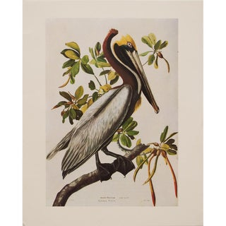1960s Cottage Style Lithograph of a Brown Pelican by John James Audubon