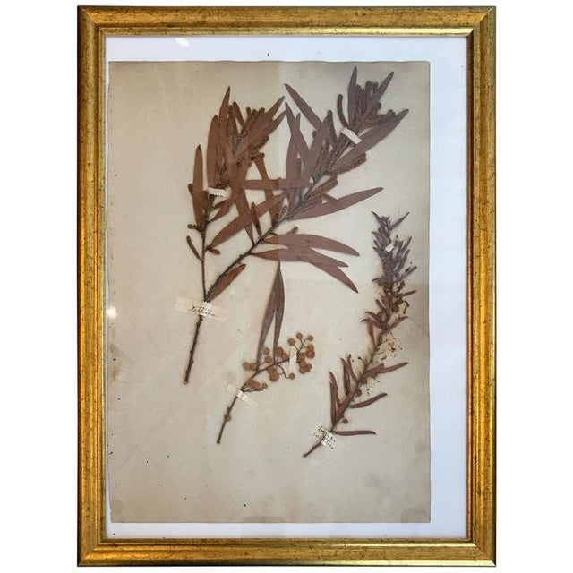 French Dried Botanical in Gilt Frame For Sale - Image 4 of 4