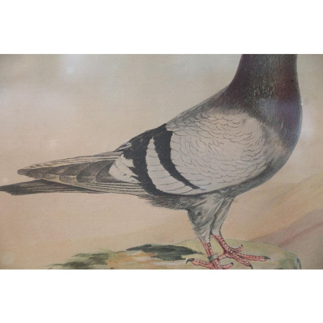 Belgian Colored Framed Pigeon Engraving For Sale - Image 4 of 7